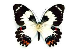 Serie della farfalla - bella farfalla rara Immagine Stock Libera da Diritti