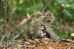 Serie della scimmia Immagini Stock