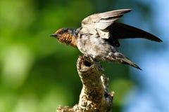 Serie dello Swallow della collina (tahitica del Hirundo)   fotografie stock
