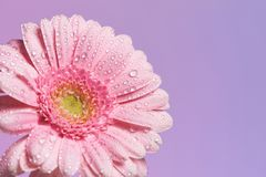 Serie der rosa Gerberablume mit Wassertropfen lizenzfreies stockbild