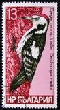 Serie di specie dell'uccello del ` di immagini di ` dei picchi, medius di Dendrocopos, circa 1978 Fotografia Stock