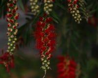 Serie di tutch di birdwoodiana del Mucuna di SRed, Mucuna di sogno del ` s di Birdwood in piena fioritura immagine stock