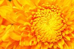 Serie dorata 4 del crisantemo Fotografia Stock Libera da Diritti