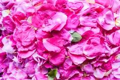 serie för blom- petals för bakgrund rose Royaltyfri Fotografi