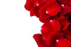 serie för blom- petals för bakgrund rose Arkivfoton