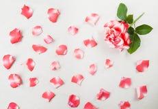 serie för blom- petals för bakgrund rose Arkivbild
