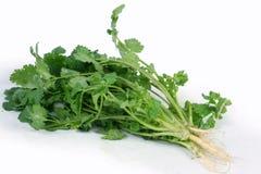 serie för cilantrokorianderört royaltyfria foton