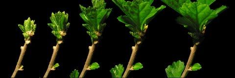 Serie för hibiskusbladtillväxt Arkivbild