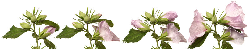 Serie floreciente de las flores del hibisco Fotografía de archivo