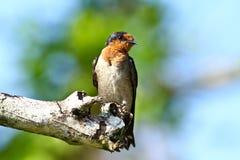Serie II dello Swallow della collina (tahitica del Hirundo) Fotografia Stock