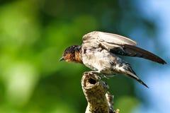 Serie IV dello Swallow della collina (tahitica del Hirundo) Fotografia Stock