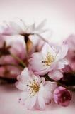 Flores de cerejeira fotos de stock