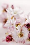 Flores de cerejeira Fotografia de Stock Royalty Free