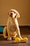 Serie Labrador Fotografia Stock