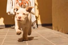 Serie Labrador Fotografia Stock Libera da Diritti