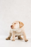 Serie Labrador Royalty Free Stock Images