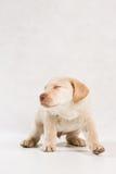 Serie Labrador Immagini Stock Libere da Diritti