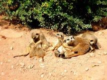 Serie meerkat 2 Στοκ Εικόνα