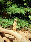 Serie meerkat 1 Στοκ φωτογραφία με δικαίωμα ελεύθερης χρήσης