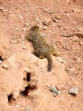 Serie meerkat 3 Arkivfoton