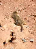 Serie meerkat 3 Στοκ Φωτογραφίες