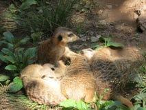 Serie meerkat Στοκ φωτογραφία με δικαίωμα ελεύθερης χρήσης