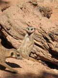 Serie meerkat Στοκ Εικόνα