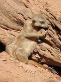 Serie meerkat Στοκ Φωτογραφία