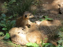 Serie meerkat  Royalty Free Stock Photography