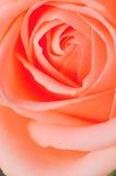 Serie rosada 2 de Rose Foto de archivo libre de regalías