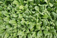 Serie van Begonia Plants Royalty-vrije Stock Foto