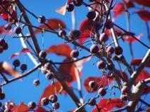 Serie van crabapplebessen en bladeren - achtergrond stock foto's