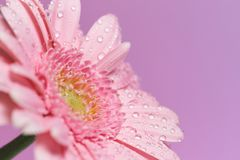Serie van roze gerberabloem met waterdalingen royalty-vrije stock afbeeldingen
