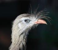 Seriema Bird Portrait. Profile of a red legged Seriema bird royalty free stock image