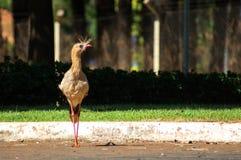 Seriema, in Brasilien Aufstellung für ein Foto! Lizenzfreie Stockfotografie