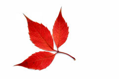 From a series: autumn leaf... Royalty Free Stock Images