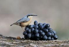 Nuthatch with a nut in its beak sits on a bunch of black grapes. From the series `Birds on Objects`. Nuthatch with a nut in its beak sits on a bunch of black Royalty Free Stock Photos