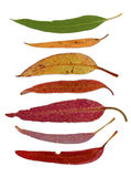 Series of Eucalypt leaves Royalty Free Stock Images