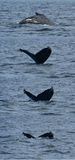 Series of Humpback Diving. A humpback whale diving off the coast of Santa Barbara, California stock photos