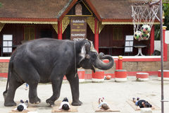 A series of multiple images Indian elephant steps over lying on the ground the children. Circus show Thailand, Phuket. Stock Image