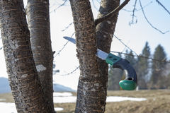 Handsaw in old cherry tree Stock Images