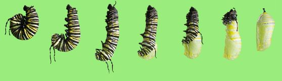A series of photos. The transformation of the monarch butterfly. Danaus plexippus caterpillar into a pupa. on green background stock photo