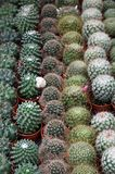 Potted cactus for sale at the market of florists Stock Photography