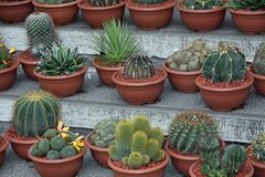 Series of potted cactus for sale at the market Royalty Free Stock Photos