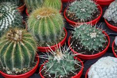 Cactus for sale at the market of florists Stock Image