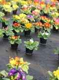 Series of Primroses and VIOLETS for sale in the greenhouse in sp Royalty Free Stock Photography
