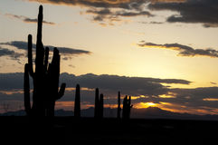 Series of Saguaro Cactus in Arizona Sunset. A series of Saguaro cactus silhouetted in a beautiful Arizona sunset with mountains on the horizon. Lots of color Royalty Free Stock Photography