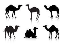 From a series Silhouettes. Animals. A camel Stock Image