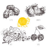 Series - vector fruit, vegetables and spices. Hand-drawn illustration in vintage style. Stock Photography