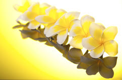Series yellow Leelawadee flowers Royalty Free Stock Images